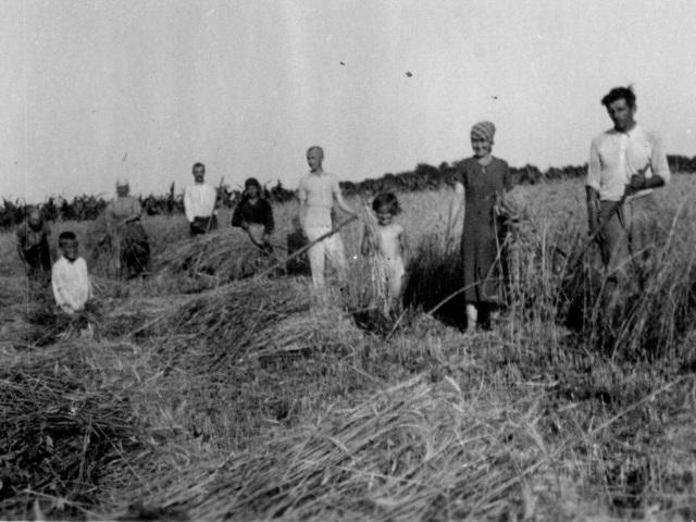 Az aratás alapművelete a kaszálás és a kévék összehordása volt.
