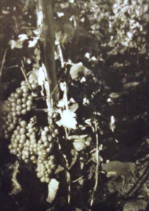 Fehér borszőlő karós műveléssel